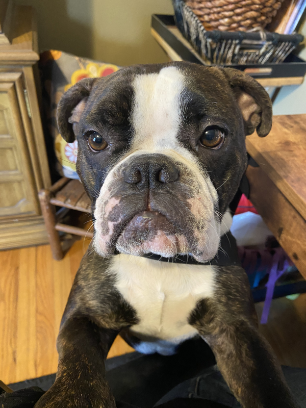 Bulldogs Currently in Our Care - Buckeye Bulldog Rescue